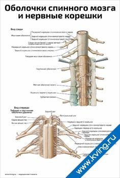 Плакат оболочки спинного мозга и нервные корешки