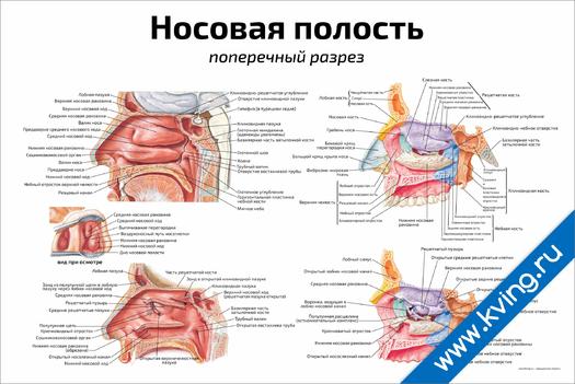 Плакат носовая полость: поперечный разрез