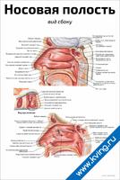 Носовая полость: вид сбоку — медицинский плакат