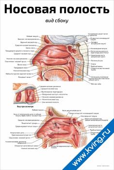 Плакат носовая полость: вид сбоку