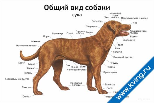 Плакат общий вид собаки: сука