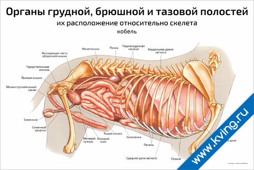 Плакат органы грудной, брюшной и тазовой полостей собаки (кобель)