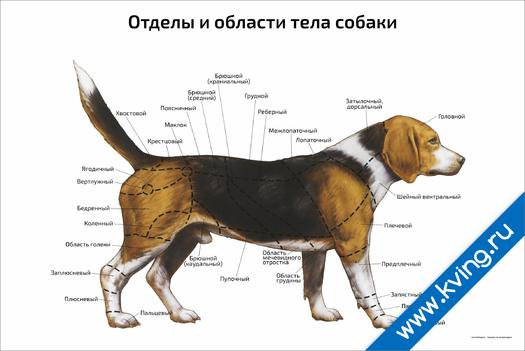 Плакат отделы и области тела собаки