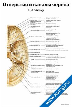 Плакат отверстия и каналы черепа: вид сверху