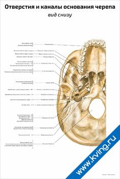 Плакат отверстия и каналы основания черепа: вид снизу