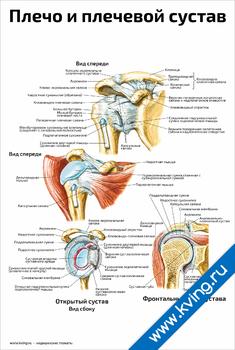 Плакат плечо и плечевой сустав