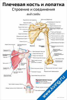Плакат плечевая кость и лопатка, строение и соединения: вид сзади