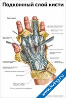 Подкожный слой кисти — медицинский плакат