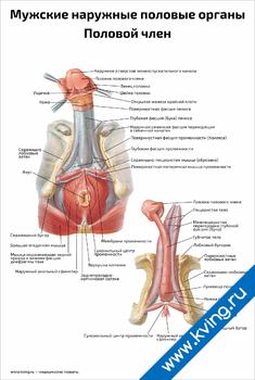 Плакат мужские наружные половые органы, половой член