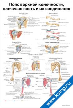 Плакат пояс верхней конечности, плечевая кость и их соединения