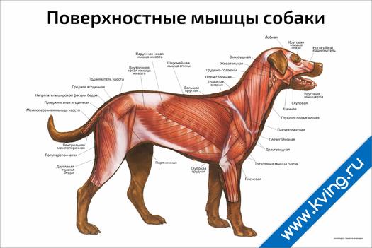Плакат поверхностные мышцы собаки