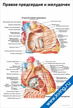 Плакат правое предсердие и желудочек