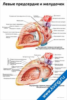 Плакат левые предсердие и желудочек