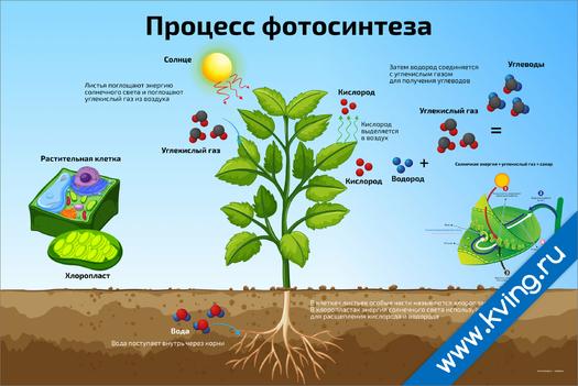 Плакат процесс фотосинтеза