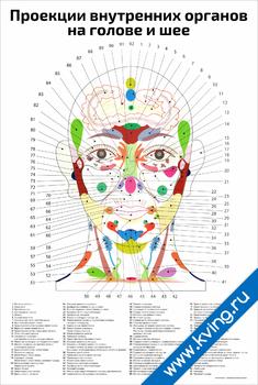 Плакат проекции внутренних органов на голове и шее