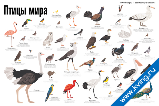 Плакат птицы мира