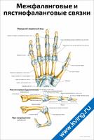 Межфаланговые и пястнофаланговые связки — медицинский плакат