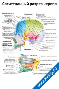 Плакат сагиттальный разрез черепа