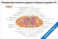 Поперечное сечение грудного отдела на уровне Т4 — медицинский плакат