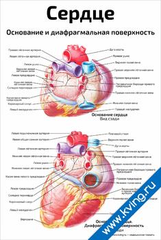 Плакат сердце, основание и диафрагмальная поверхность