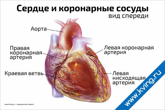 Плакат сердце и коронарные сосуды