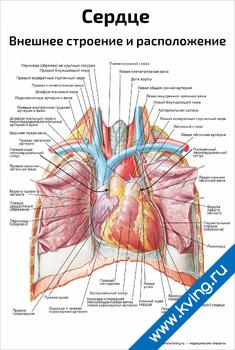 Плакат сердце, внешнее строение и расположение