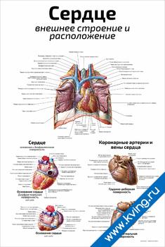 Плакат сердце: внешнее строение и расположение