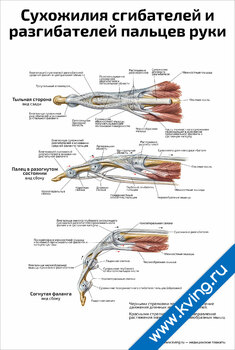 Плакат сухожилия сгибателей и разгибателей пальцев руки