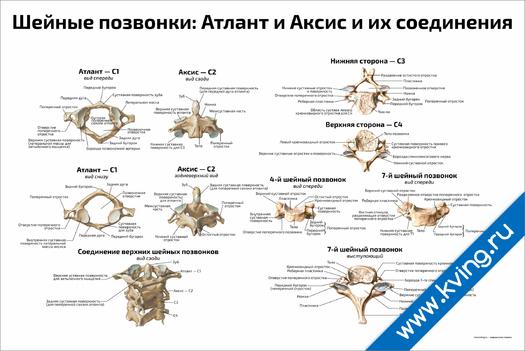 Плакат шейные позвонки: атлант и аксис и их соединения