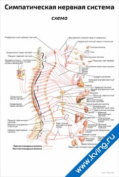 Плакат симпатическая нервная система: схема