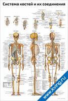 Система костей и их соединения — медицинский плакат