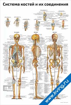 Плакат система костей и их соединения