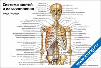 Система костей и их соединения, вид спереди — медицинский плакат