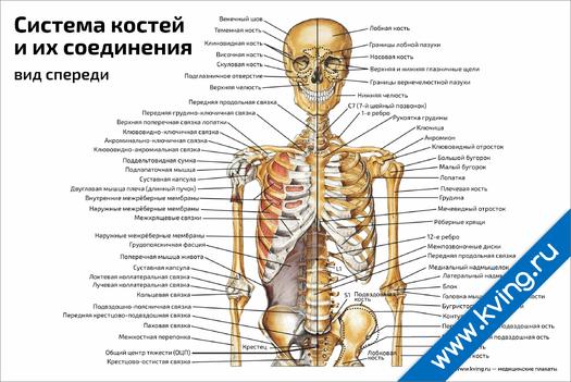 Плакат система костей и их соединения, вид спереди