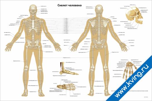 Плакат скелет человека