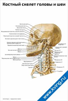 Плакат костный скелет головы и шеи