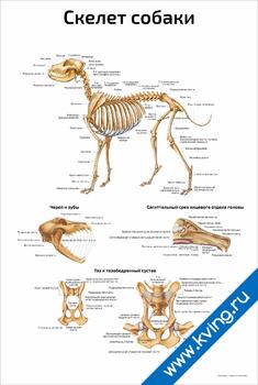 Плакат скелет собаки