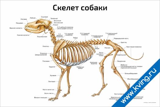 Плакат скелет собаки: горизонтальный