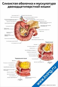 Плакат слизистая оболочка и мускулатура двенадцатиперстной кишки