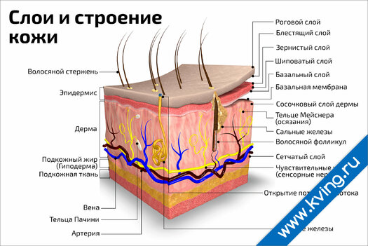 Плакат слои и строение кожи: горизонтальный