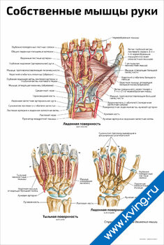 Плакат собственные мышцы руки