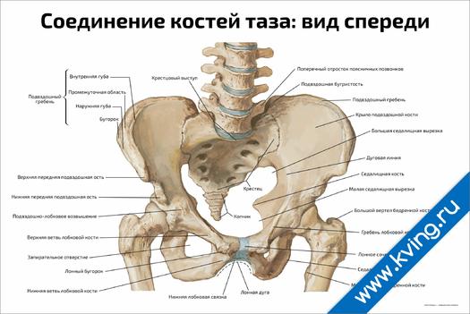 Плакат соединение костей таза: вид спереди