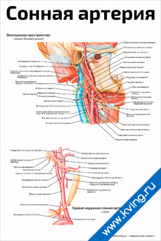 Плакат сонная артерия