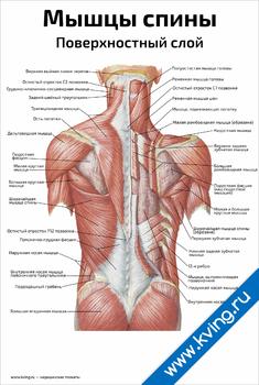 Плакат мышцы спины, поверхностный слой
