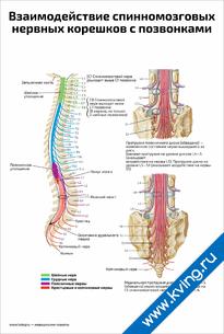 Плакат взаимодействие спинномозговых нервных корешков с позвонками