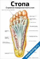 Стопа, строение поверхностного слоя — медицинский плакат