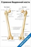 Строение бедренной кости — медицинский плакат