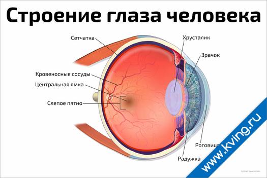 Плакат строение глаза человека