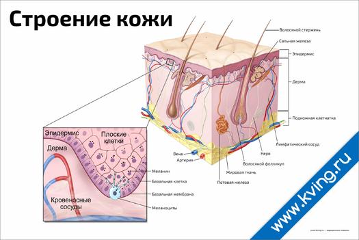 Плакат строение кожи