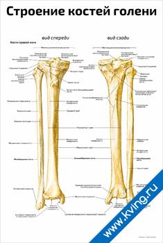 Плакат строение костей голени